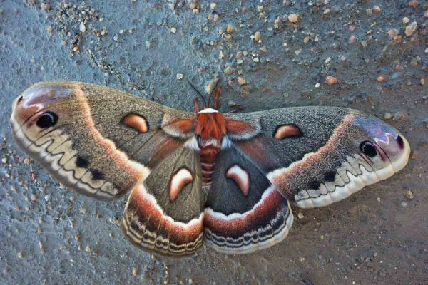 Cecropia moth I found along the beach.  It was alive and quivering in the wind.  I moved it to a place with a bit of shelter from the wind.