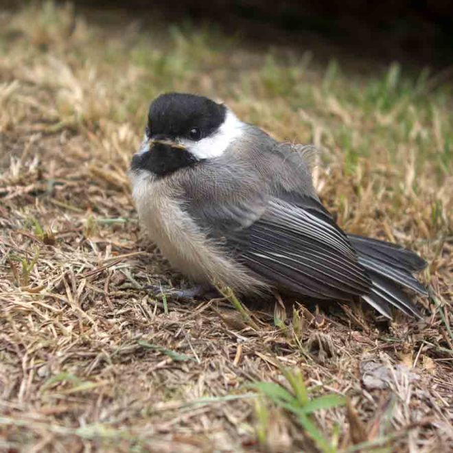 Baby chickadee that dropped by our house (and later left).