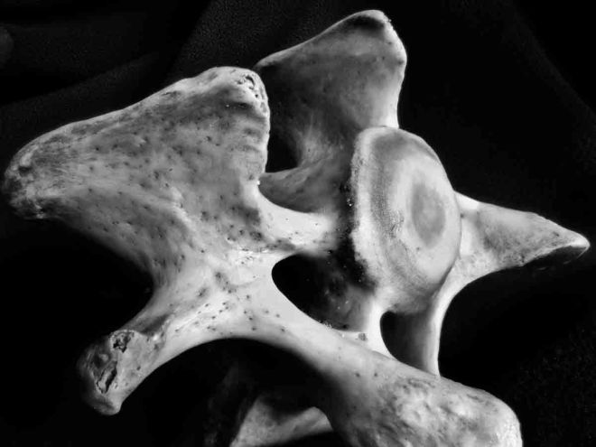 A vertebra I found along the beach.  Another focus stacked photograph.