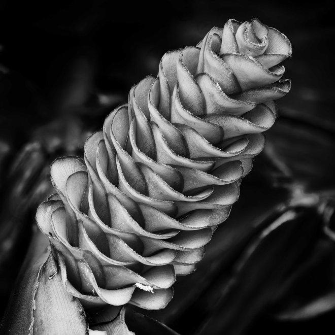 alpinia-gigantifolia-toni-parsonbw-9797-9825-2017-02-22-16-21-11-zs-retouched