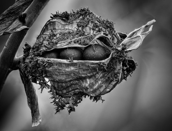 canna-indica-bw9933-9999-2017-02-23-17-24-29-zs-retouched